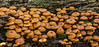 Cross-veined troop mushrooms (<i>Xeromphalina kauffmanii</i>) Rock Creek Park, Washington, DC