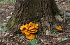 "<a href=""http://en.wikipedia.org/wiki/Jack_o%27_lantern_mushroom"" target=""blank"">Jack o' lantern mushrooms (<i>Omphalotus illudens</i>)</a> at base of tree Rock Creek Park, Washington, DC"