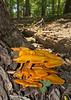 "<a href=""http://en.wikipedia.org/wiki/Jack_o%27_lantern_mushroom"" target=""blank"">Jack o' lantern mushrooms (<i>Omphalotus illudens</i>)</a> Rock Creek Park, Washington, DC"