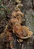 False turkey tail mushrooms (<I>Stereum ostrea</I>) on log Rock Creek Park, Washington, DC