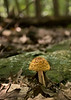 Unidentified mushroom along the trail<br /> Catoctin Mountain Nat'l Park, Frederick County, MD