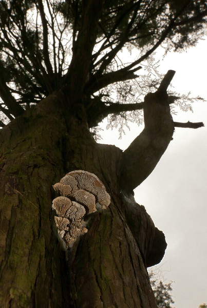 Gilled polypore mushrooms on cedar trunk<br /> Chapman State Park, Indian Head, MD