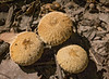Gem-studded puffballs (<I>Lycoperdon perlatum</I>) Rock Creek Park, Washington, DC