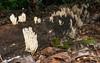Crown tip coral fungus (<I>Clavicorona pyxidata</I>) & American toad (<I>Bufo americanus</I>) Rock Creek Park, Washington, DC