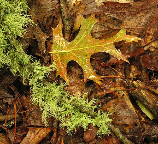 Old man's beard lichen  (<I>Usnea sp.</I>) with red oak leaf  along Wequasset Trail in rain Cape Cod, MA