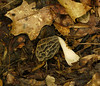 Morel mushroom (<i>Morchella</i> sp. -- <i>virginiana</i>?) in leaf litter Wheaton Regional Park, Wheaton, MD
