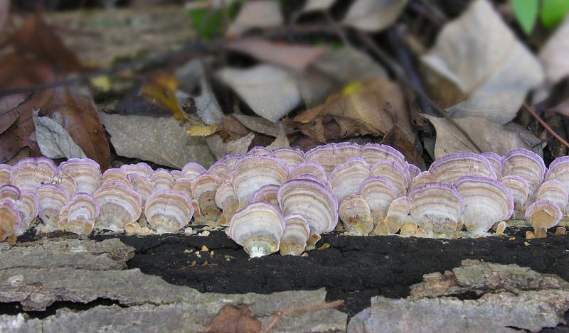 Turkeytail-type bracket fungus -- possibly Purplepore (<i>Trichaptum abietinum</i>)? -- on decaying log Hoyle's Mill Conservation Park, Boyds, MD