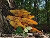 "<a href=""http://en.wikipedia.org/wiki/Jack_o%27_lantern_mushroom"" target=""blank"">Jack o' lantern mushrooms (<i>Omphalotus illudens</i>)</a> Rock Creek Park, Washington, DC"