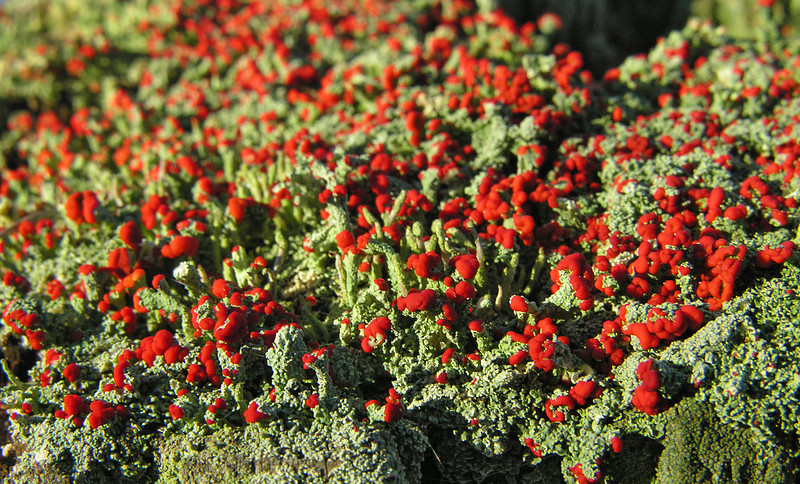 British soldiers lichen (<I>Cladonia cristatella</I>) Dyke Marsh Wildlife Preserve, Belle View, VA