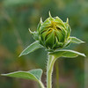 "Sunflower bud (<i>Helianthus annuus</i>) <span class=""nonNative"">[non-native, crop planting]</span> McKee-Beshers Wildlife Mgt Area, Poolesville, MD"