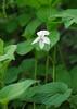 Striped cream violet (<i>Viola striata</i>) White Clay Creek State Park, Newark, DE