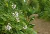 Virginia waterleaf (<I>Hydrophyllum virginianum</I>) along trail White Clay Creek State Park, Newark, DE
