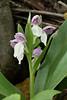 Showy orchis (<I>Galearis spectabilis</I>) G. Richard Thompson Wildlife Management Area, Fauquier County, VA