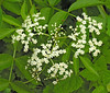 Elderberry flower cluster (<I>Sambucus canadensis</I>) in late spring Woodend Sanctuary, Chevy Chase, MD