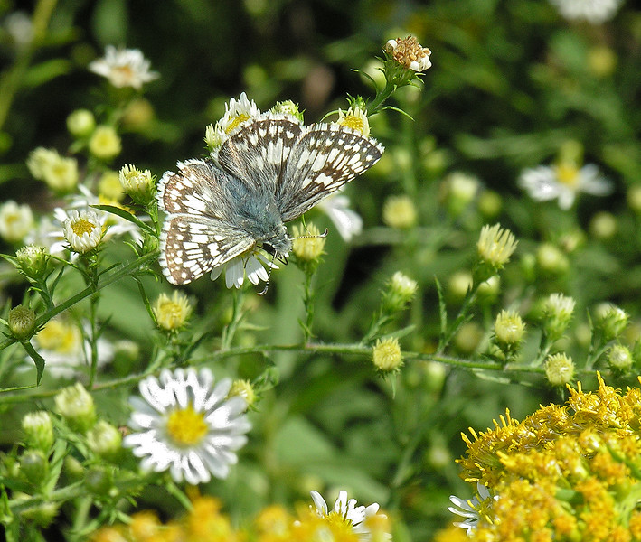 Common checkered skipper (<i>Pyrgus communis</i>) amid fall asters and goldenrod Yankauer Preserve near Shepherdstown, WV