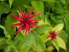 Scarlet bee balm (<I>Monarda didyma</I>) Jug Bay Natural Area, Patuxent River Park, Upper Marlboro, MD