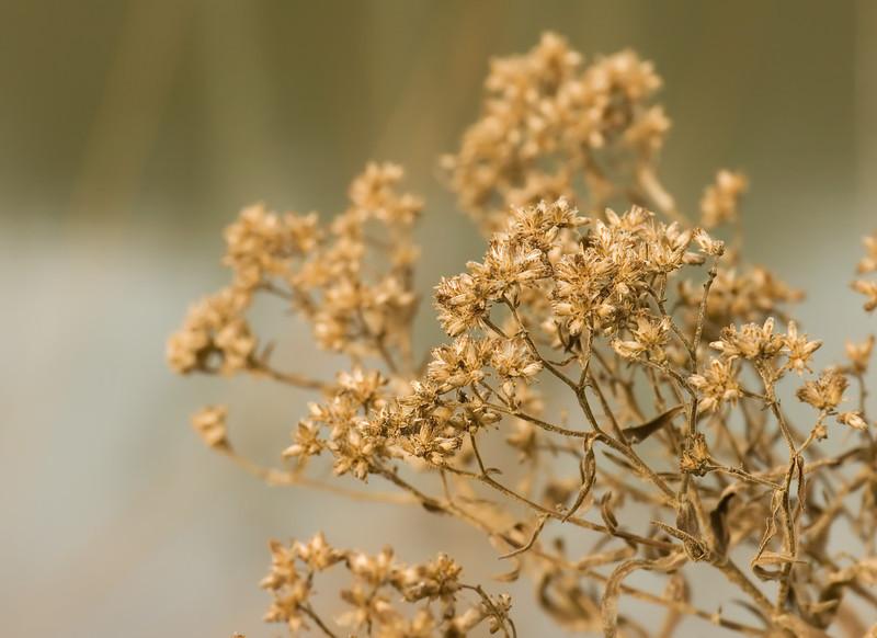 Winter Weeds:  Goldenrod by Little Seneca Lake<br /> Black Hill Regional Park, Boyds, MD