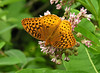 Great spangled fritillary (<I>Speyeria cybele</I>) on common milkweed (<I>Asclepias syriaca</I>) Rachel Carson Conservation Park, Brookeville, MD