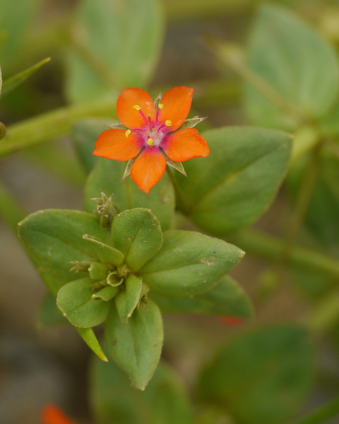 "Scarlet pimpernel (<i>Anagallis arvensis</i>) by construction site drainage ditch <span class=""nonNative"">[non-native]</span> Strasburg, VA"