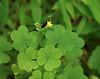 Yellow wood sorrel (<i>Oxalis stricta</i>) G. Richard Thompson Wildlife Mgt. Area, Fauquier County, VA