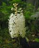Fly poison (<I>Amianthium muscaetoxicum</I>) Shenandoah National Park, VA