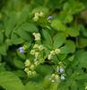 Greek valerian (<I>Polemonium reptans</I>) starting to fruit White Clay Creek State Park, Newark, DE
