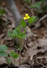 Downy yellow violet (<I>Viola pubescens</I>) G. Richard Thompson Wildlife Management Area, Fauquier County, VA