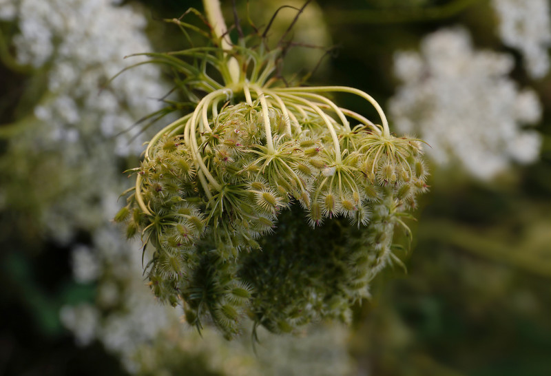 "Queen Anne's lace (<i>Daucus carota</i>) ""birdsnest"" with seeds <span class=""nonNative"">[non-native]</span> McKee-Beshers Wildlife Mgt Area, Poolesville, MD"
