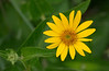 Woodland sunflower (<I>Helianthus divaricatus</I>) Southern Frederick County, MD