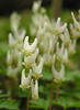 Dutchman's breeches (<I>Dicentra cucullaria</I>) C&O Canal Nat'l Historical Park - Carderock Recreation Area, Western Montgomery County, MD
