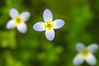 Tiny bluets<br /> Price Lake, Blowing Rock, NC