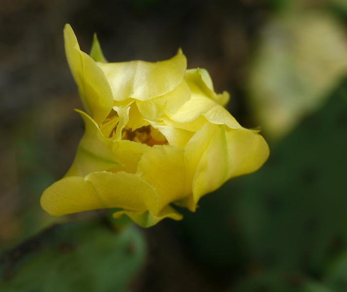 Eastern prickly pear cactus in flower (<i>Opuntia humifusa</i>)  Hupps Hill Karst Trail, Strasburg, VA