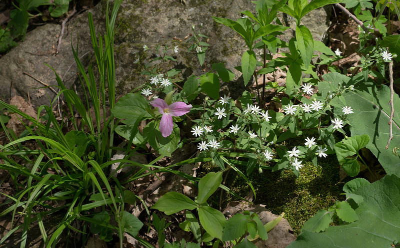 Trillium, chickweed, and more<br /> G. Richard Thompson Wildlife Management Area, Fauquier County, VA