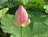 "Lotus bud (<i>Nelumbo nucifera</i>) <span class=""nonNative"">[non-native, garden planting]</span> Kenilworth Aquatic Gardens, Washington, DC"