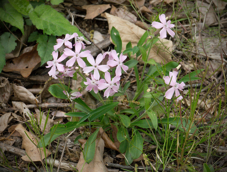 Wild pink (<I>Silene caroliniana</I>) C&O Nat'l Historical Park - Carderock Recreation Area, Western Montgomery County, MD