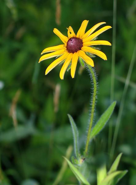 Black-eyed Susan (<I>Rudbeckia hirta</I> var. <I>pulcherrima</I>) Blue Mash Trail near Olney, MD