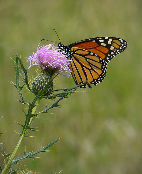 Monarch (<I>Danaus plexippus</I>) on field thistle (<I>Cirsium discolor</I>) Woodend Sanctuary, Chevy Chase, MD
