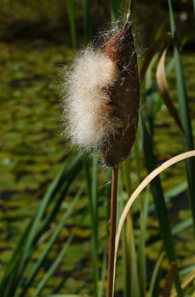 Cattail dispersing seeds (<I>Typha latifolia</I>) Kenilworth Aquatic Gardens, Washington, DC