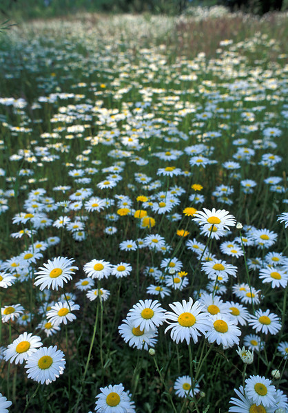 "Oxeye daisies (<i>Leucanthemum vulgare</i>), naturalized in Crowe's Pasture <span class=""nonNative"">[non-native]</span>  Cape Cod, MA"