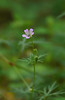 Carolina cranesbill (<i>Geranium carolinianum</i>) ? G. Richard Thompson Wildlife Mgt. Area, Fauquier County, VA