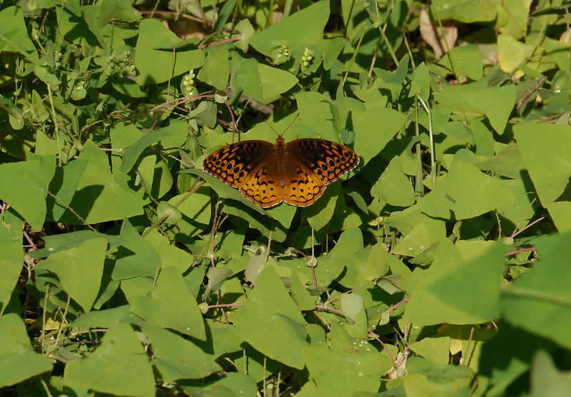 """Great spangled fritillary in mile-a-minute <span class=""""nonNative"""">[non-native invasive vine]</span> Rachel Carson Conservation Park, Brookeville, MD"""
