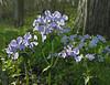 Wild blue phlox (<I>Phlox divaricata</I>) C&O Canal Nat'l Historical Park - Carderock Recreation Area, Western Montgomery County, MD