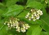 Poke milkweed, <i>aka</i> Tall milkweed (<i>Asclepias phytolaccoides</i>) Shenandoah National Park, VA