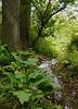 Skunk cabbage (<I>Symplocarpus foetidus</I>) along feeder stream White Clay Creek State Park, Newark, DE