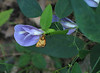 Skipper on butterfly pea (<I>Clitoria mariana</I>) Great Falls National Park, McLean, Virginia