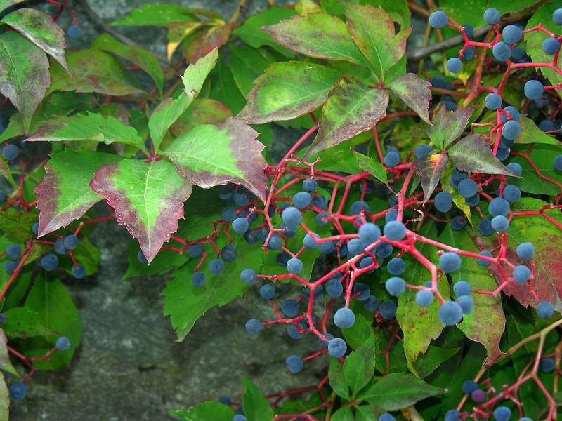 Virginia creeper (<I>Parthenocissus quinquefolia</I>) in fruit Plymouth, MA
