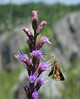 Skipper on blazing star (<I>Liatris</I> sp.) Great Falls National Park, McLean, Virginia