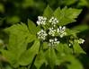 Sweet Cicely (<I>Osmorhiza claytoni</I>) White Clay Creek State Park, Newark, DE