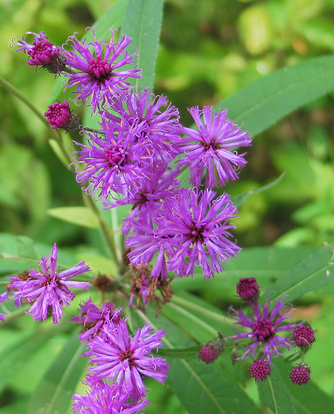 "New York ironweed (<I>Vernonia noveboracensis</I>) <A HREF=""http://www.nps.gov/this/index.htm"" TARGET=""_blank"">Theodore Roosevelt Island</A>, Washington, DC"