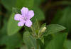 Carolina wild petunia, <i>aka</i> Hairy ruellia (<i>Ruellia caroliniensis</i>) Hampton National Historic Site, Baltimore County, MD